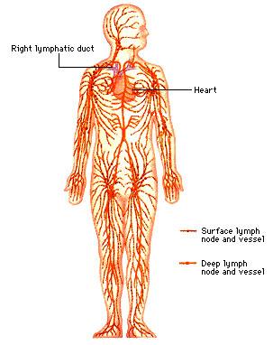 lymphatic system diagram